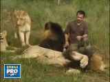 человек общается с львиным прайдем как единое целое